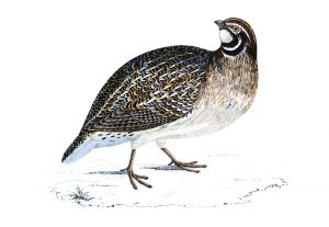 Quail - Hand Coloured Engraving